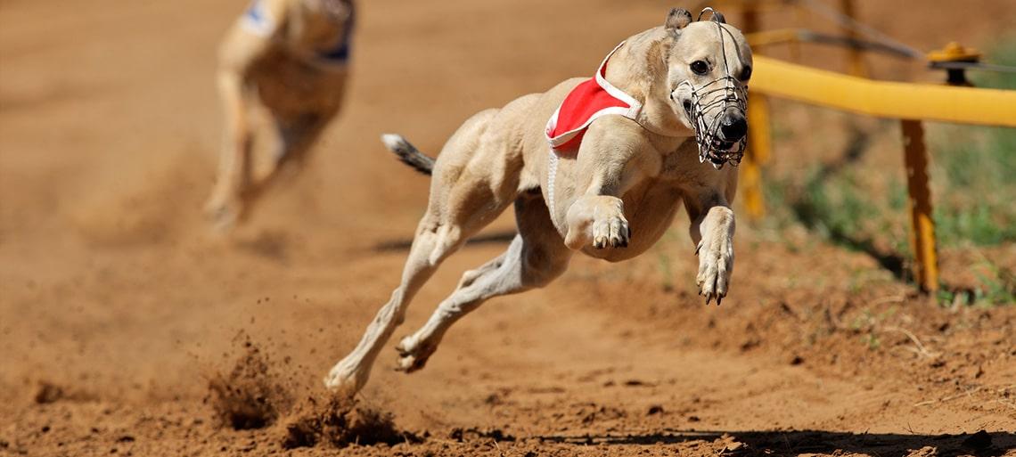 SIS Greyhound Content