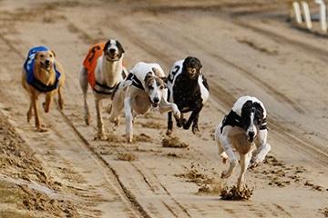 SIS Launches Worldwide Greyhound Racing Pool